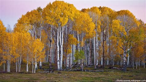 new year yellow tree interesting facts about birch trees just facts