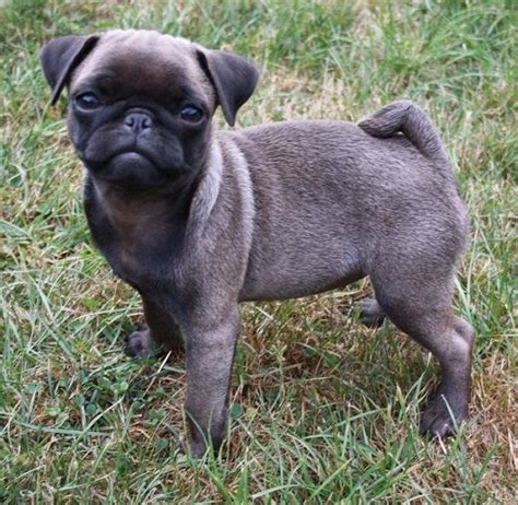 silver pug puppies 205 best silver apricot pug puppies images on baby pugs pug puppies and