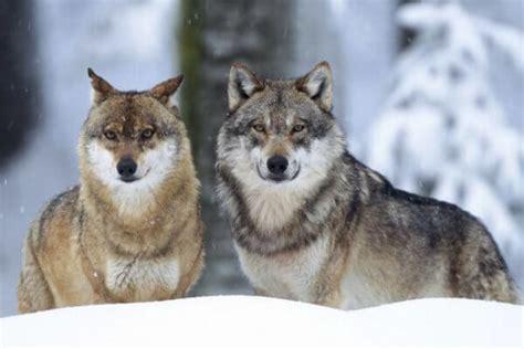 el lobo de los 1519600925 d 243 nde vive el lobo su h 225 bitat natural y su entorno