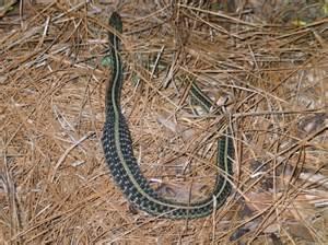 Garden Snake South Florida Black Florida Snake Identification 2017 2018 Best Cars
