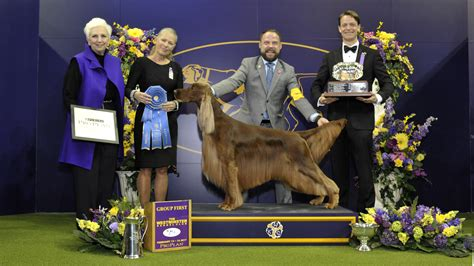 puppy shows home page westminster kennel club