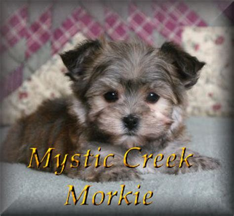 dogs for sale websites image gallery morkie breeders