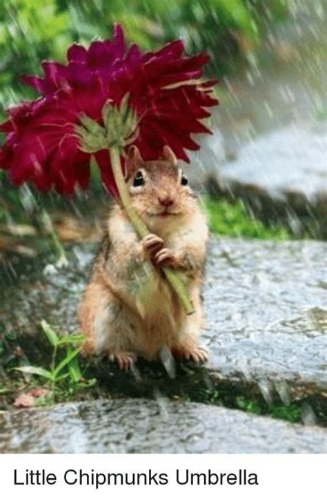 Chipmunk Meme - little chipmunks umbrella meme on sizzle