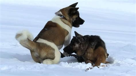 american german shepherd american german shepherd vs german shepherd breeds picture