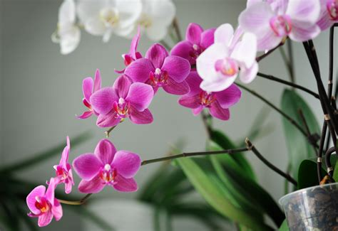 care of orchids after flowering top 28 orchids care of after blooming top 28 orchids care of after blooming phalaenopsis