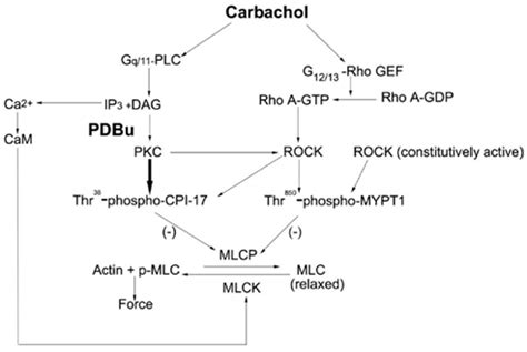4 proteins involved in contraction frontiers phorbol 12 13 dibutyrate induced protein