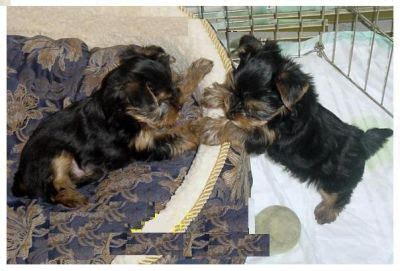 yorkie puppies for free in utah tea cup yorkie puppies for free adoption