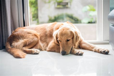golden retriever thyroid problem symptoms thyroid gland disorder in dogs symptoms causes