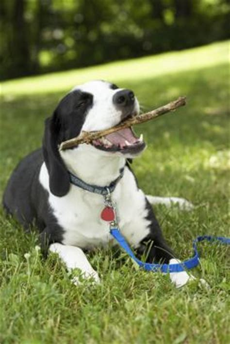 why do dogs eat sticks why do dogs eat tree bark care the daily puppy