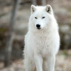 arctic wolf puppies best 25 arctic wolf ideas on snow wolf white wolves and white wolf