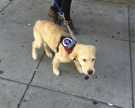golden retriever service dogs of the day golden retriever puppy service in the dogs of san