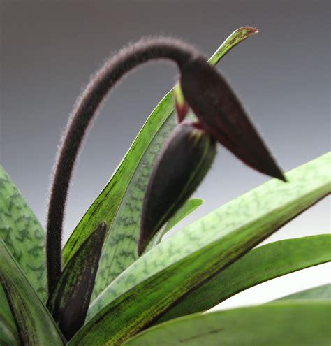 black orchid black orchid orchidaceous orchid blog