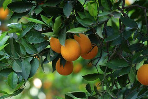 beautiful fruit trees 10 orange tree orange tree image orange fruit tree orange