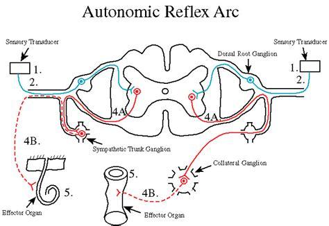 diagram of the reflex arc anatomy physiology
