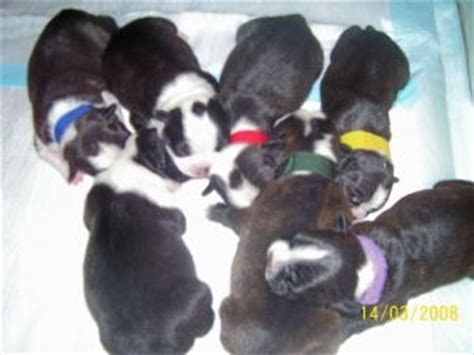 boston terrier puppies michigan blue boston terrier puppies michigan