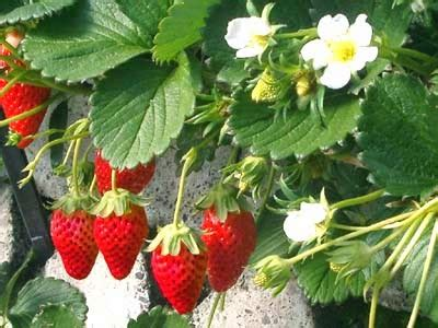 gambar buah strawberry merah segar  buah sehat
