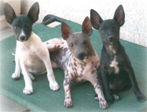 american hairless terrier puppies certified american hairless terrier breeders information photos