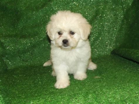 dogs with minimal shedding pekechon pekingese x bichon frise this adorable puppy has a big personality