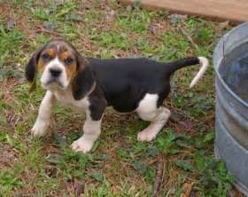 Picture 1 of 6 - American Coonhound Pictures & Images ...