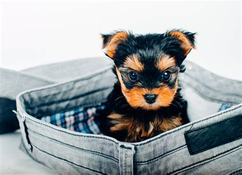 images of teacup dogs the about teacup dogs petmd