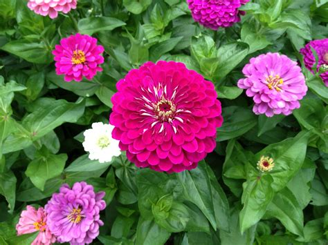 benary giant zinnia best flower ever a must for