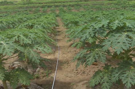 Bibit Jagung Manis Paling Bagus cara menanam budidaya pepaya california bibitbunga