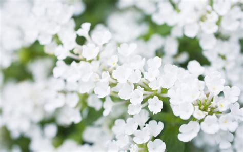 White Flowers by Wonderful White Flowers 5231 1920 X 1200 Wallpaperlayer