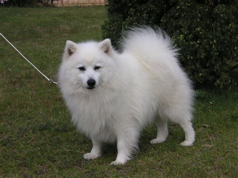 japanese spitz puppies japanese spitz www imgkid the image kid has it