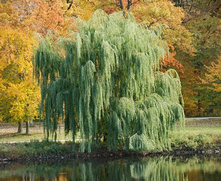 tree water aspirin how to make aspirin from willow bark tree