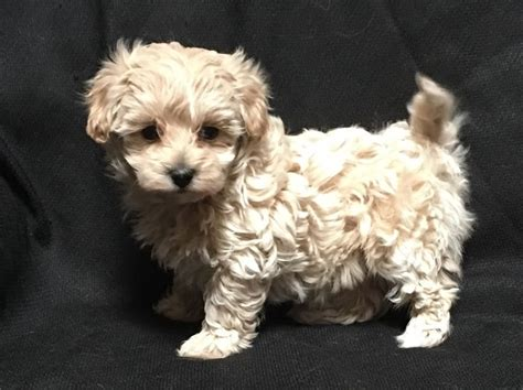 shih tzu maltese poodle puppies best 25 maltipoo breeders ideas on maltese puppies maltese dogs and
