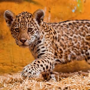 Difference Between Leopard And Jaguar Spots Spot The Differences Between Leopards Jaguars And