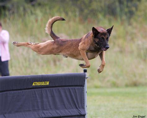 belgium malawa puppies belgian malwa breeds picture