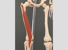 Vastus Intermedius | Feets of Clay Frontalis Muscle Origin Insertion Action