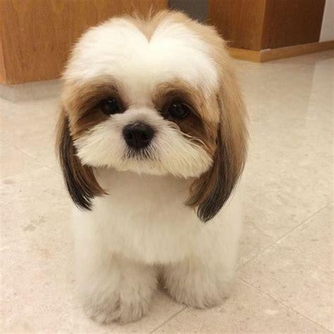 shih tzu websites shih tzu website and haircuts on