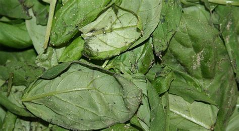 Spinach In Stool by Diagnostic Tests Undercut Surveillance Abilities Of Health