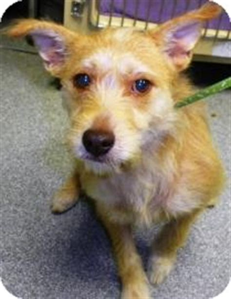 yorkie fox terrier mix solstice adopted 21071198 lincolnton nc yorkie terrier fox