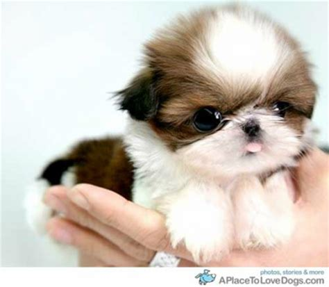 shih tzu pronunciation dictionary help chelsea s animal world