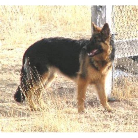 german shepherd puppies colorado colorado s silver creek german shepherds german shepherd breeder in peyton colorado