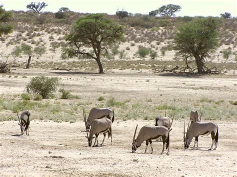 Gembok Auto 50 kalahari gemsbok np oryx 1