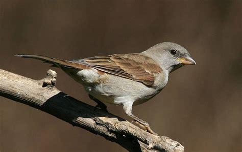 passero alimentazione passero come costruire casette per uccelli