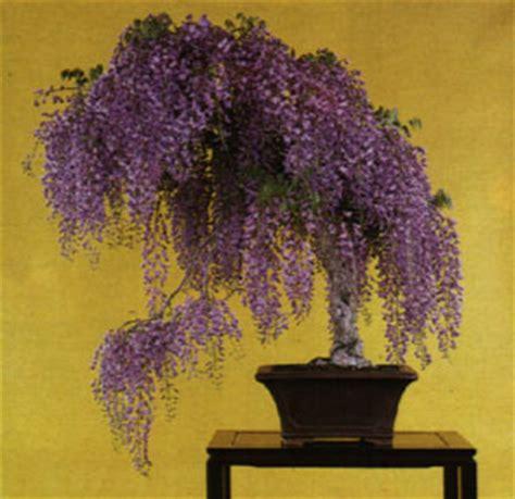 glicine in vaso coltivazione glicine in vaso forum di giardinaggio it