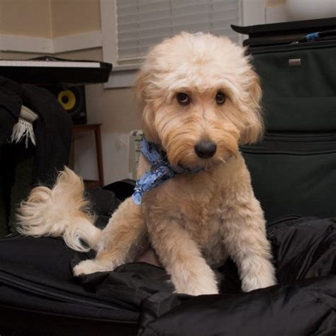 goldendoodle puppy haircuts goldendoodle haircut puppy goldendoodle