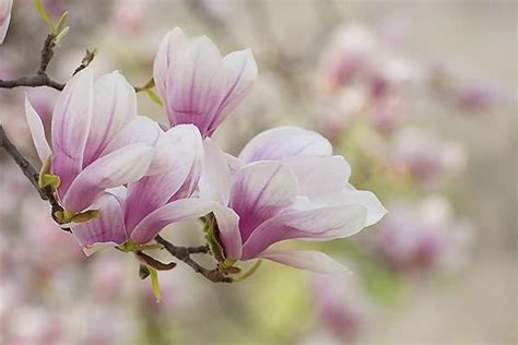 magnolia fiore coltivazione della magnolia decidua in terra e in vaso