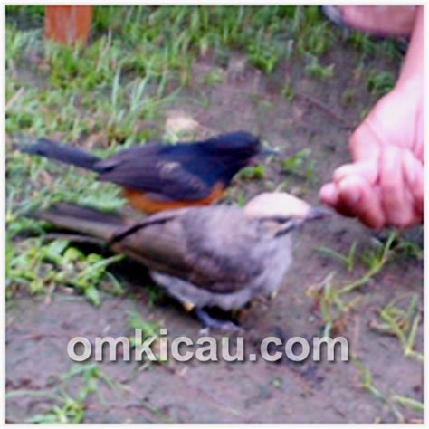 Jual Pakan Burung Medan tips om dodi meloloh anakan mb dan cr om kicau