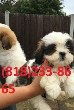shih tzu puppies for sale in oklahoma city shih tzu puppies for sale oklahoma city ok 252903