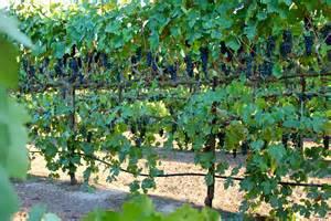 Training Grape Vines Pergola by Lodi Wine Commission Blog Abba Vineyard Turns Sunlight