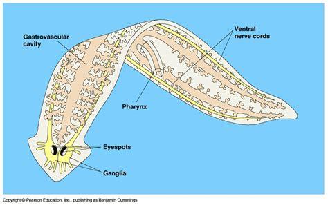 planaria diagram planaria image search results