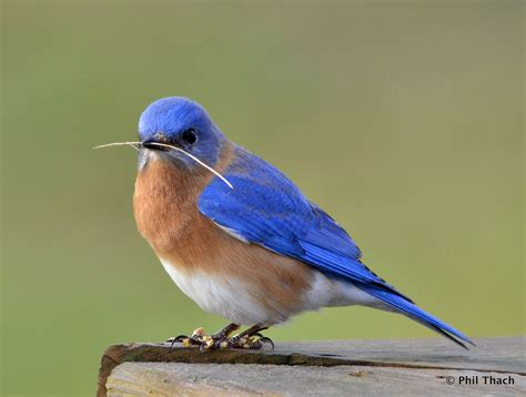 our eastern bluebirds phil thach