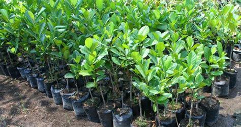 Bibit Mangga Manalagi Jumbo penangkar jual bibit tanaman pohon buah bunga kayu di