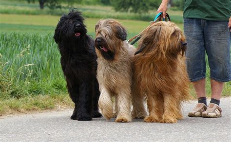 mutt puppy briard info temperament care puppies pictures